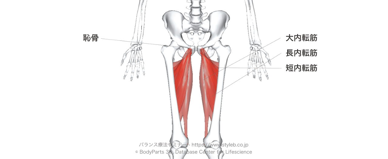 股関節内転筋群