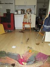 Photo: Tervetuloa kotiin osa 574. Helmi oli löytänyt kompostin, ja se oli pitkin keittiön lattiaa.
