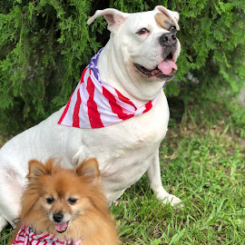 Happy 4th of July by Mia Gomez - Animals - Dogs Portraits