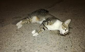 Denuncian la muerte de gatos por disparos en Huércal de Almería