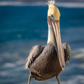Not Shy by Mark Ritter - Animals Birds ( seabird, ocean, pelican, oceanside, california, pacific )