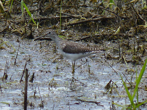 Photo: Lesser Yellowlegs: