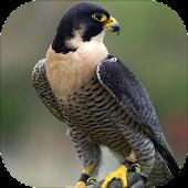 Peregrine Falcon sounds