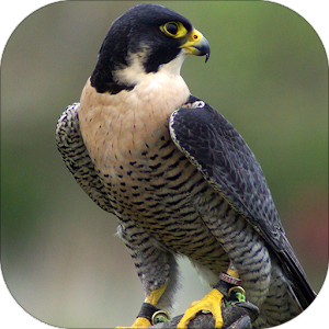 Peregrine Falcon sounds apk