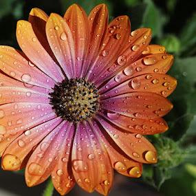 Rain drops by Giovanna Pagliai - Flowers Single Flower ( petls, armony, drops, leaves, springtime, rain )