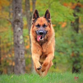 The running man by Sue Delia - Animals - Dogs Running ( happy, german shepherd, running,  )