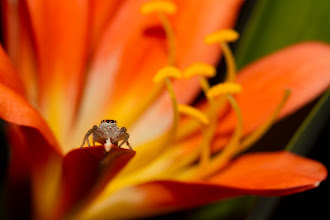 Photo: Garden Jumping Spider - Big World