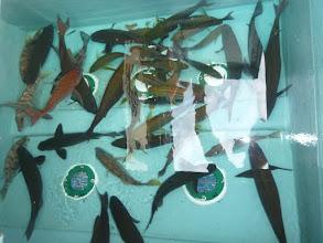 Photo: 釣果です。 前で釣っていた〇〇さん! オナガ、イサキ、真鯛、フエフキ・・・でした!