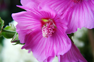 Photo: Pink lavatera  - prints & cards here - http://www.inspiraimage.com/index.php/gallery/flowers/203-pink-lavatera-flowers