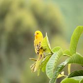 鳥鳴き声ローラカナリア