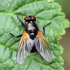 Orange-winged Fly