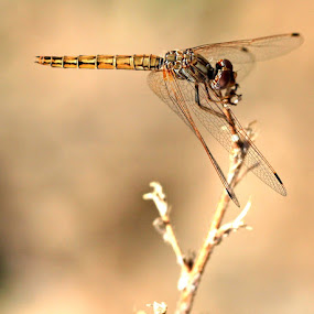 Dragonfly by Cheryl Korff - Animals Insects & Spiders