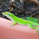 Red-throated anole