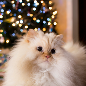 Oliver the Cat posing  by Steve Friedman - Animals - Cats Portraits ( pet portraits, himalayan, christmas tree, bokeh, oliver the cat,  )
