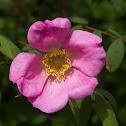 Himalayan Rose