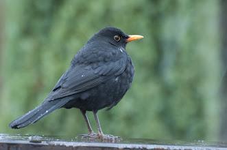 Photo: European Blackbird (Amsel); Reinhardtsdorf, DE