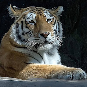 A tiger from Odense Zoo by M. Andersen - Animals Lions, Tigers & Big Cats (  )