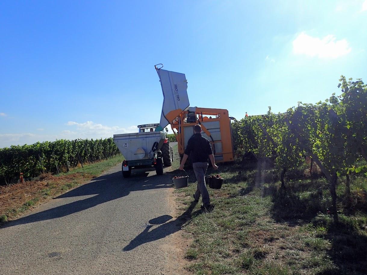 Machine à vendanger Grégoire. Cette machine est attelée à un tracteur. Elle convient pour les petites vignes. Le viticulteur l'amortit en 5 ans. Il suffit de vider la benne et ça repart. Encore des petits boulots qui disparaissent...