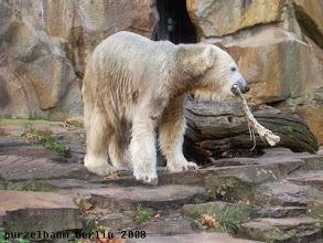 Photo: Knut schwenkt den Ochsenschwanz herum ;-)