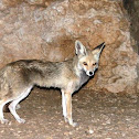 Egyptian Red Fox