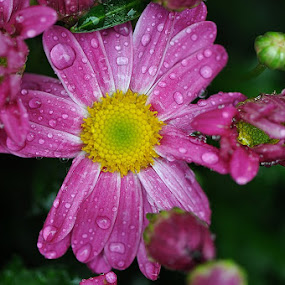 flowers with waterdrops by Paul Wante - Flowers Flower Gardens ( macro, gardens, waterdrops, flowers, photography )