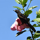 Variable Oriole