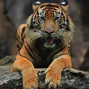 Look At Me Now by Yohanes Arief Dewanto - Animals Lions, Tigers & Big Cats ( wild, wilderness, tiger, wildlife, sumatran tiger,  )