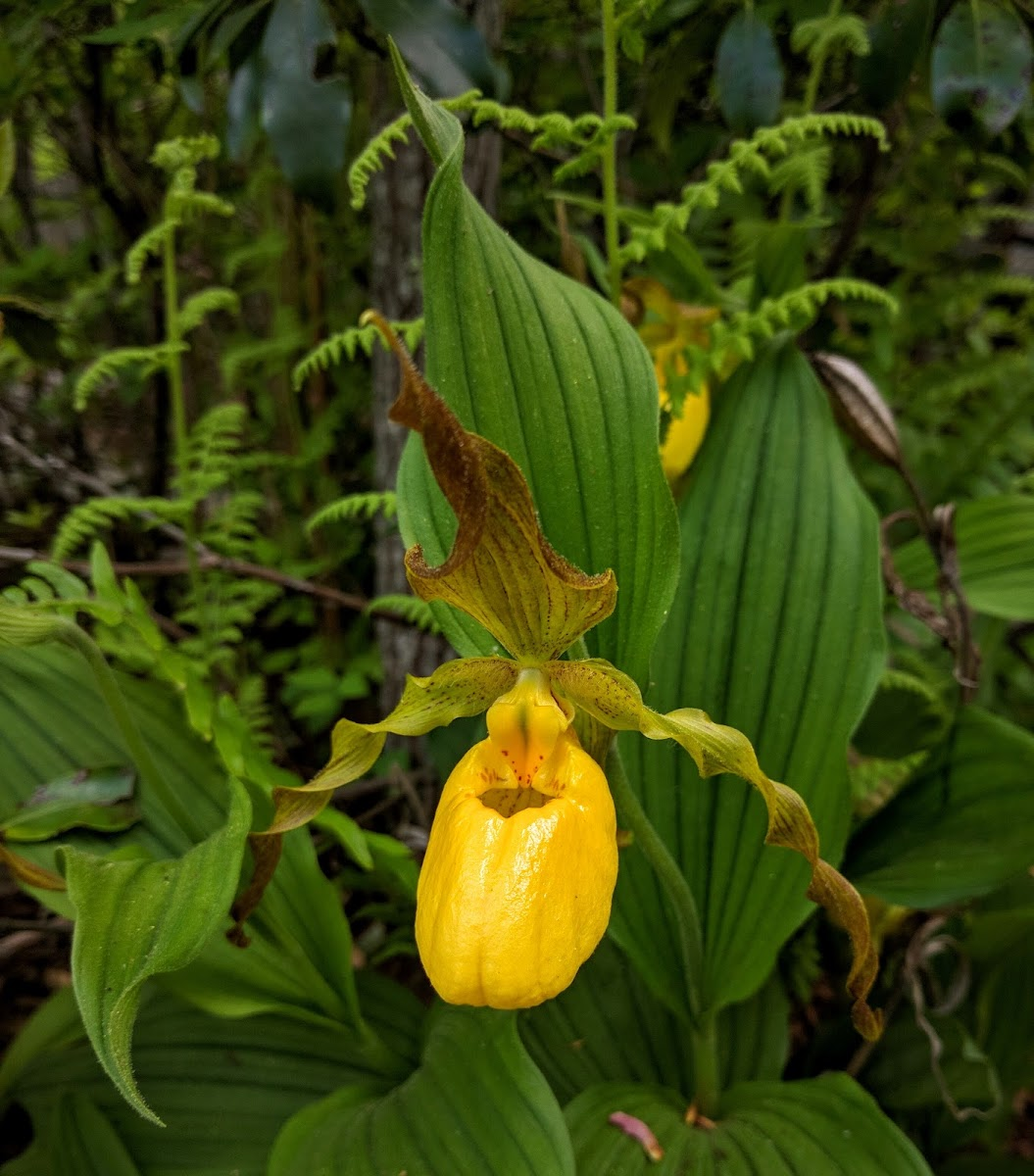 Greater Yellow Lady's Slipper