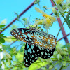 The Blue Tiger butterfly