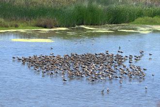 Photo: Shorebirds increasing