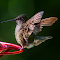 Humming Bird Wings 25 06 18.jpg