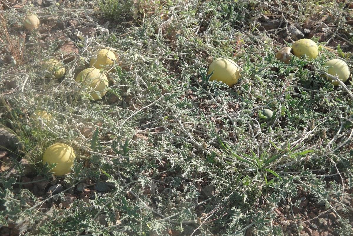 Bitter cucumber,Desert gourd