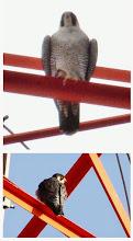 Photo: 撮影者:福本 健 ハヤブサ タイトル:狩りに失敗 観察年月日:2014年12月21日 羽数:1羽 場所:多摩川立日橋付近 区分:猛禽 メッシュ:立川2B コメント:立日橋を歩いていたら、ハヤブサが飛んできて、高圧鉄塔に止まった。3時間後に通ったらまだ止まっていて、何かを見つけ、急降下しまた鉄塔に止まった。狩りに失敗したようだ。