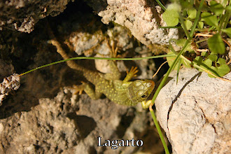 Photo: Lagarto