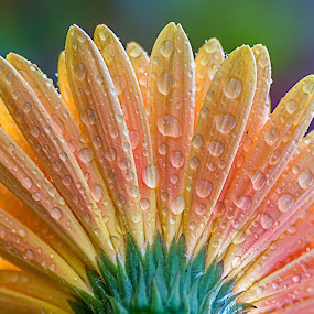 by Shalabh Sharma - Flowers Single Flower