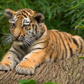 Tiger Cub by Jürgen Mayer - Animals Lions, Tigers & Big Cats ( tierbaby, cat, süß, katze, tiger, tier, tigerbaby, cute, kätzchen, cub, animal )