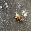 Copper Leafhopper