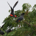 Red tail cockatoos