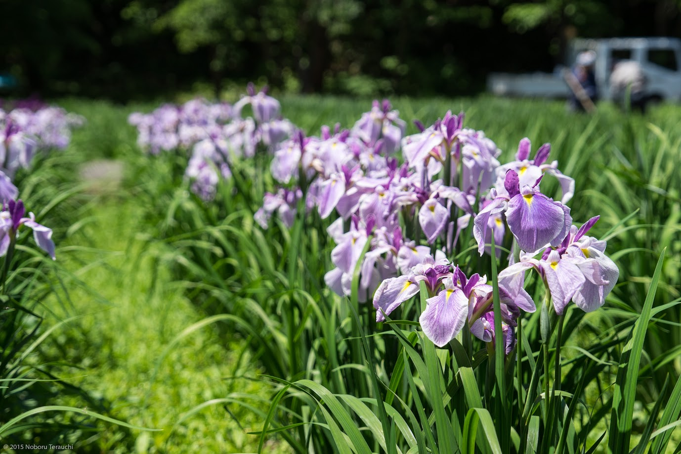薄紫の菖蒲@あやめ公園(岩見沢市)