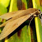 The Pale Brown Hawk Moth
