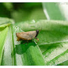 Orthoptera 直翅目