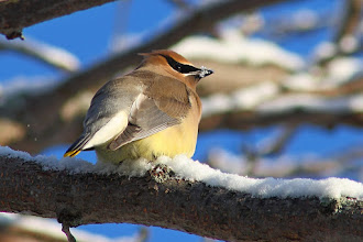 Photo: #BirdPoker Over The Shoulder curated by +Phil Armishaw  A Cedar Waxwing checking on me while 'drinking' snow. I've had lots of these in my backyard this year, almost every day. This was from just before Christmas. Yesterday and today a flock of 100 or so are camping out near the juniper hedgerow.
