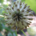 Buttonbush flower