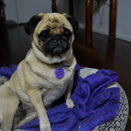 Bubbles the Pug by Ruth Tomlinson - Animals - Dogs Portraits ( pugslie, cute, dog, posing, pug,  )