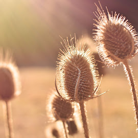 The thieves thumping by Neli Dan - Nature Up Close Other plants ( sunset, autumn, thistles )