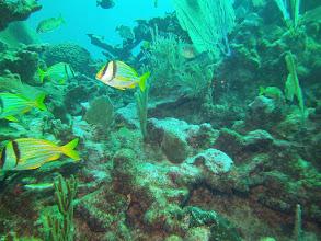 Photo: Porkfish