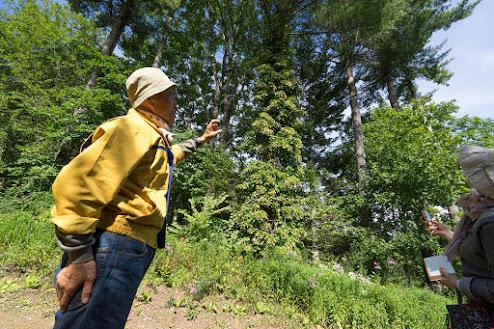樹齢58年のマツの木に巻き付いたツルアジサイ