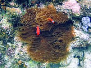 Photo: Amphiprion frenatus (Tomato Clownfish), Entacmaea quadricolor (Bubble Anemone), Siquijor Island, Philippines