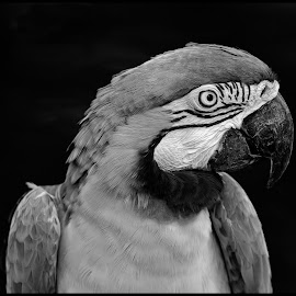 Blue and Green Macaw by Dave Lipchen - Black & White Animals ( blue and green macaw )