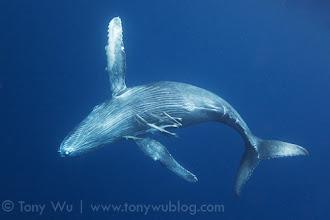 Photo: Healthy, happy humpback whale calf Tahafa playing near the surface